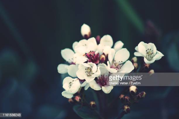 close-up of white cherry blossoms - hawthorn,_victoria stock pictures, royalty-free photos & images
