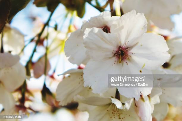 close-up of white cherry blossoms - newbury england stock pictures, royalty-free photos & images