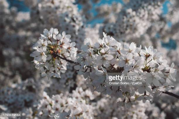 close-up of white cherry blossoms - bortes stock pictures, royalty-free photos & images