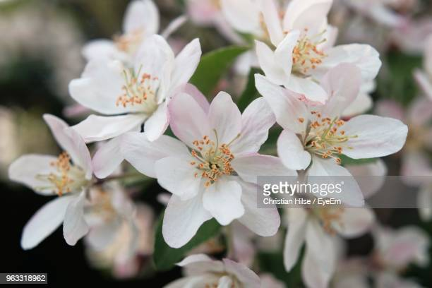 close-up of white cherry blossoms - christian hilse stock-fotos und bilder