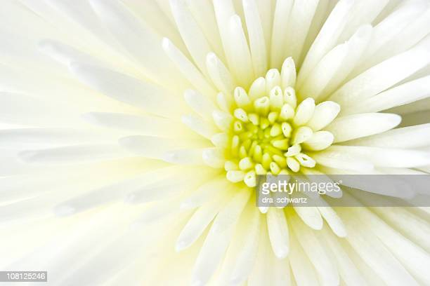 Close-up of White Chrysanthemum Flower