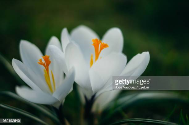 Close-Up Of White Crocus Blooming Outdoors