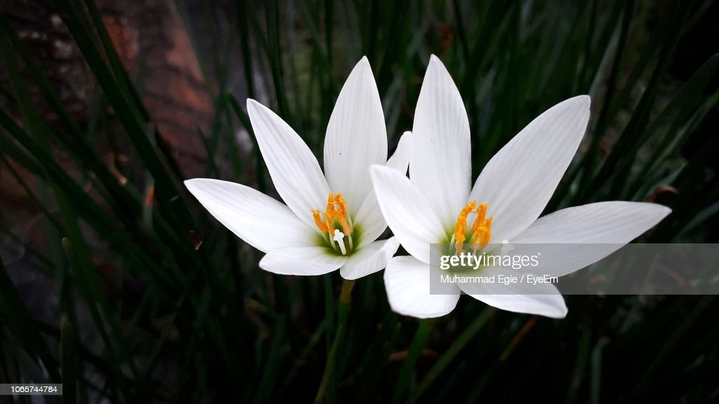 Closeup Of White Crocus Flower Stock Photo Getty Images