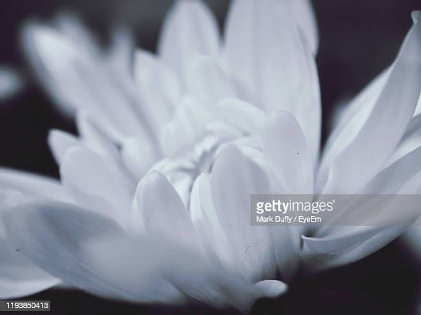 close-up of white crocus flower - mark bloom stock pictures, royalty-free photos & images