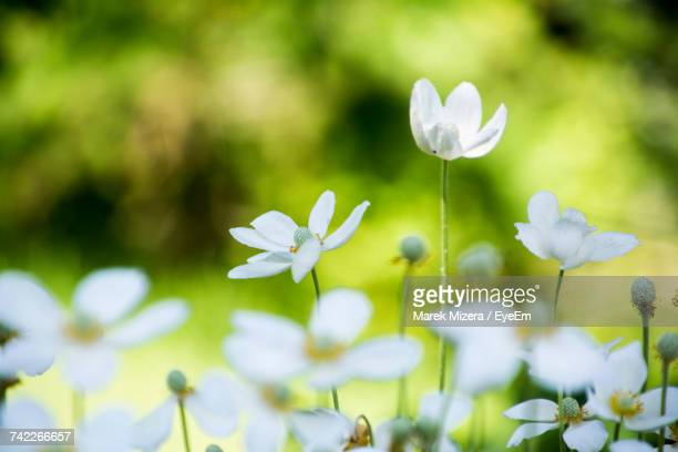 Close-Up Of White Crocus Flowers Blooming Outdoors