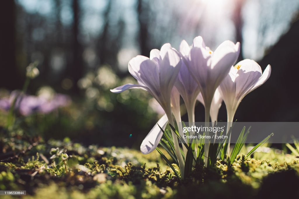 Close-Up Of White Crocus Flowers On Field : Stock Photo