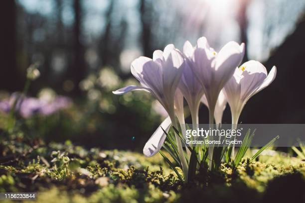 close-up of white crocus flowers on field - bortes stock photos and pictures