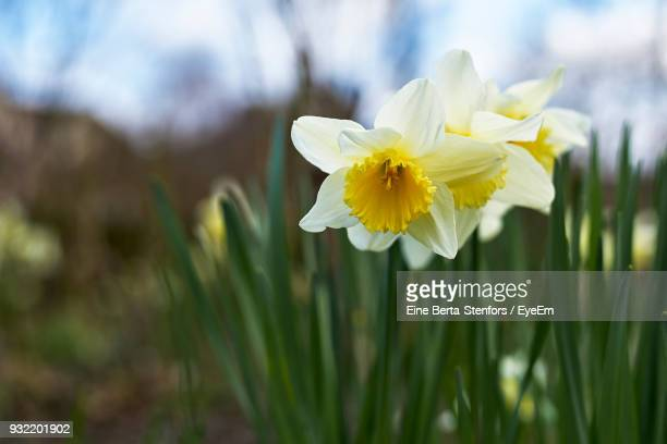 Close-Up Of White Daffodil Blooming Outdoors
