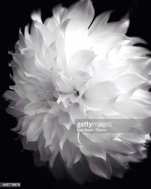 Close-Up Of White Dahlia Flower Against Black Background