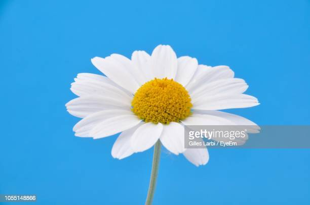 close-up of white daisy against blue sky - daisy stock pictures, royalty-free photos & images