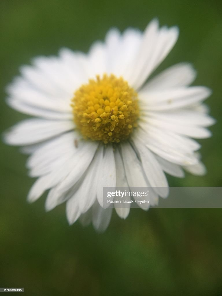 Close-Up Of White Daisy Blooming Outdoors : Stockfoto