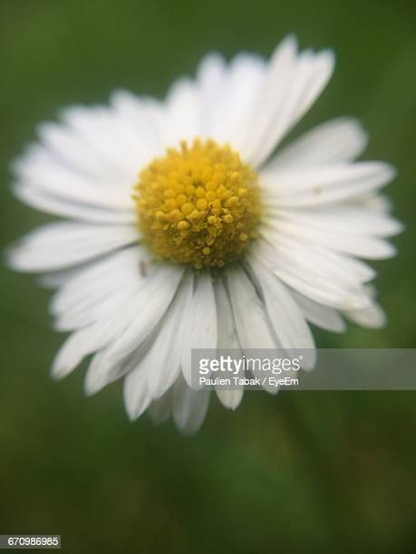 close-up of white daisy blooming outdoors - paulien tabak foto e immagini stock