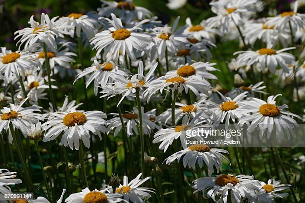 close-up of white daisy blooming outdoors - howard,_wisconsin stock pictures, royalty-free photos & images