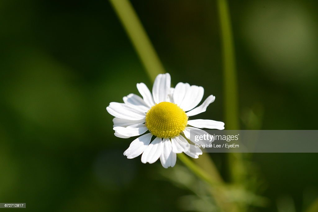 closeup of white daisy blooming outdoors ストックフォト getty images