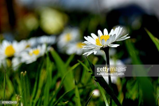 close-up of white daisy blooming outdoors - karen mckay stock pictures, royalty-free photos & images
