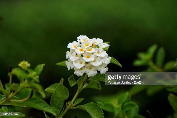 close-up of white daisy blooming outdoors - lantana stock pictures, royalty-free photos & images