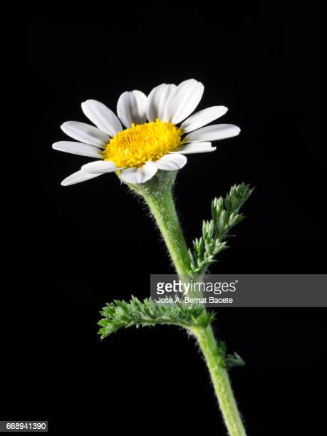 close-up of white daisy flower, on black background,  valencia, spain - foco no primeiro plano stock pictures, royalty-free photos & images