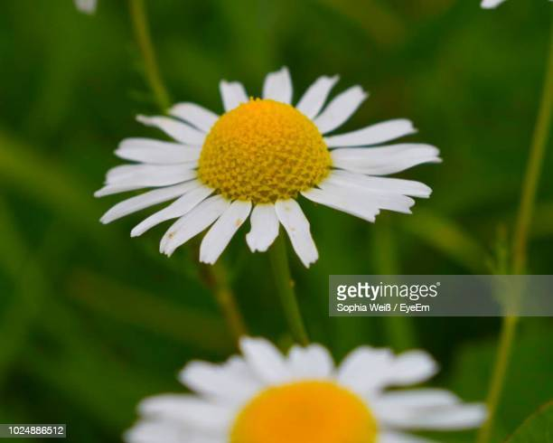 close-up of white daisy flower - weiß stock pictures, royalty-free photos & images