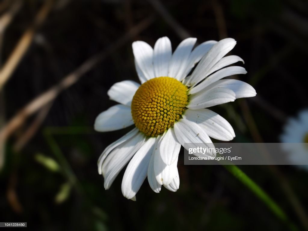 Close-Up Of White Daisy Flower : Foto stock