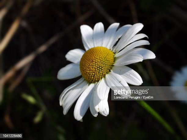 close-up of white daisy flower - loredana perugini ストックフォトと画像