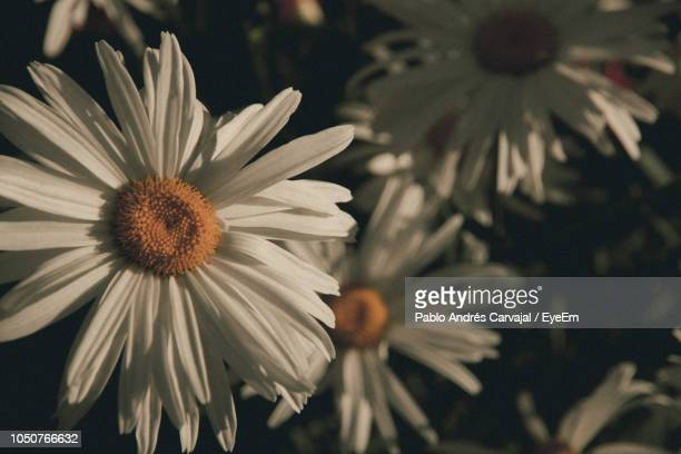 close-up of white daisy flower - carvajal stock photos and pictures