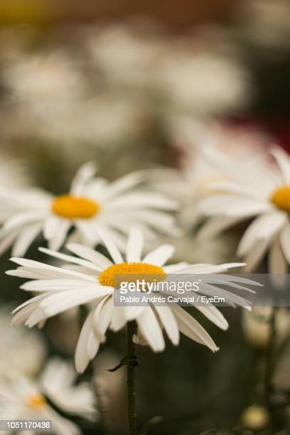close-up of white daisy flower - carvajal ストックフォトと画像