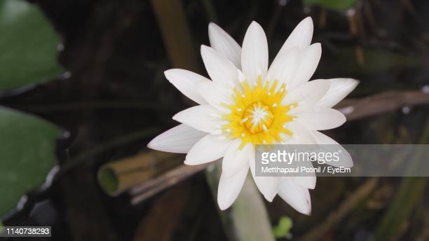 close-up of white daisy flower - metthapaul stock photos and pictures