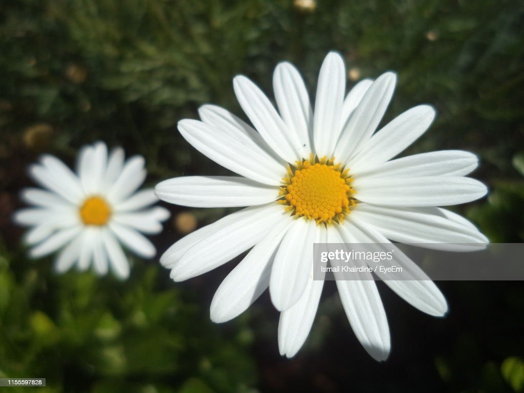 Close-Up Of White Daisy Flower : Stock Photo