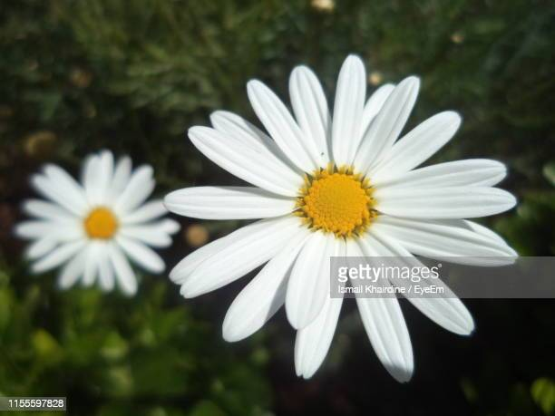 close-up of white daisy flower - ismail khairdine stock photos and pictures