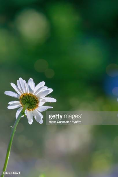 close-up of white daisy flower - västra götaland county stock pictures, royalty-free photos & images