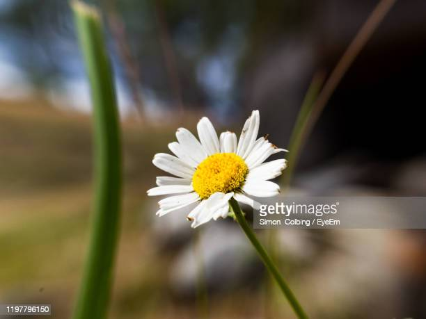 close-up of white daisy flower - colbing stock pictures, royalty-free photos & images