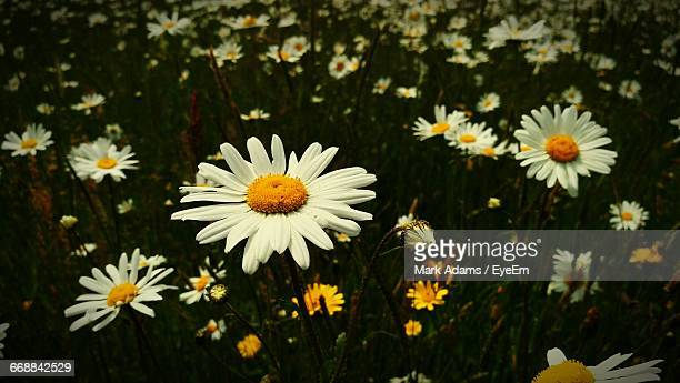 close-up of white daisy flower - port talbot stock pictures, royalty-free photos & images