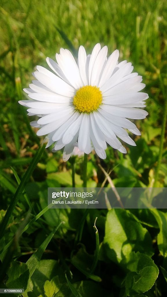 closeup of white daisy flower ストックフォト getty images