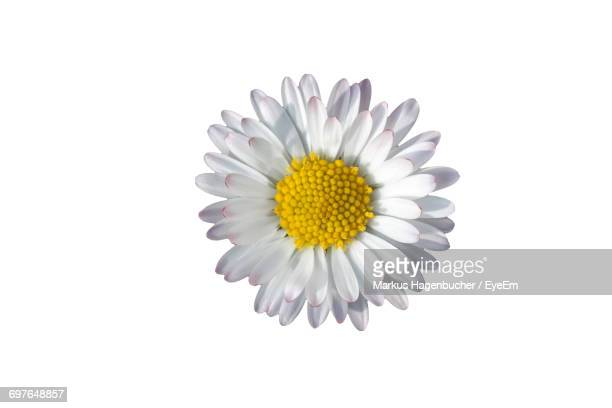 close-up of white daisy flower - daisy stock pictures, royalty-free photos & images