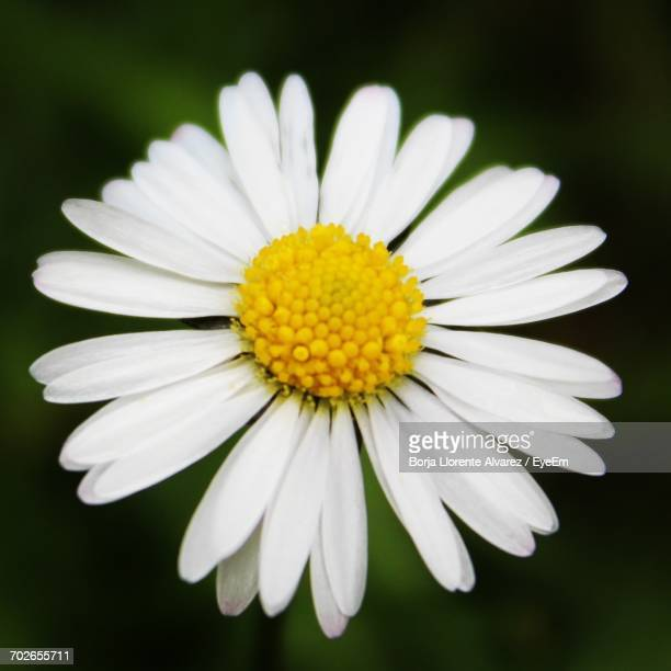 close-up of white daisy flower - llorente stock pictures, royalty-free photos & images