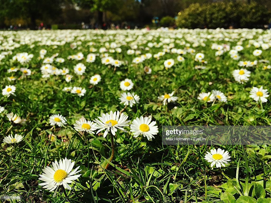 Closeup of white daisy flowers blooming in field stock photo getty close up of white daisy flowers blooming in field stock photo izmirmasajfo