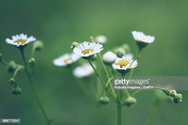 Close-Up Of White Daisy Flowers Growing In Field