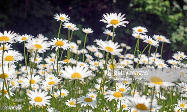 close-up of white daisy flowers on field - daisy stock pictures, royalty-free photos & images