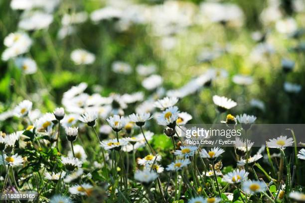 close-up of white daisy flowers on field - tolga erbay stock photos and pictures