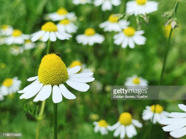 close-up of white daisy flowers on field - bortes stock pictures, royalty-free photos & images