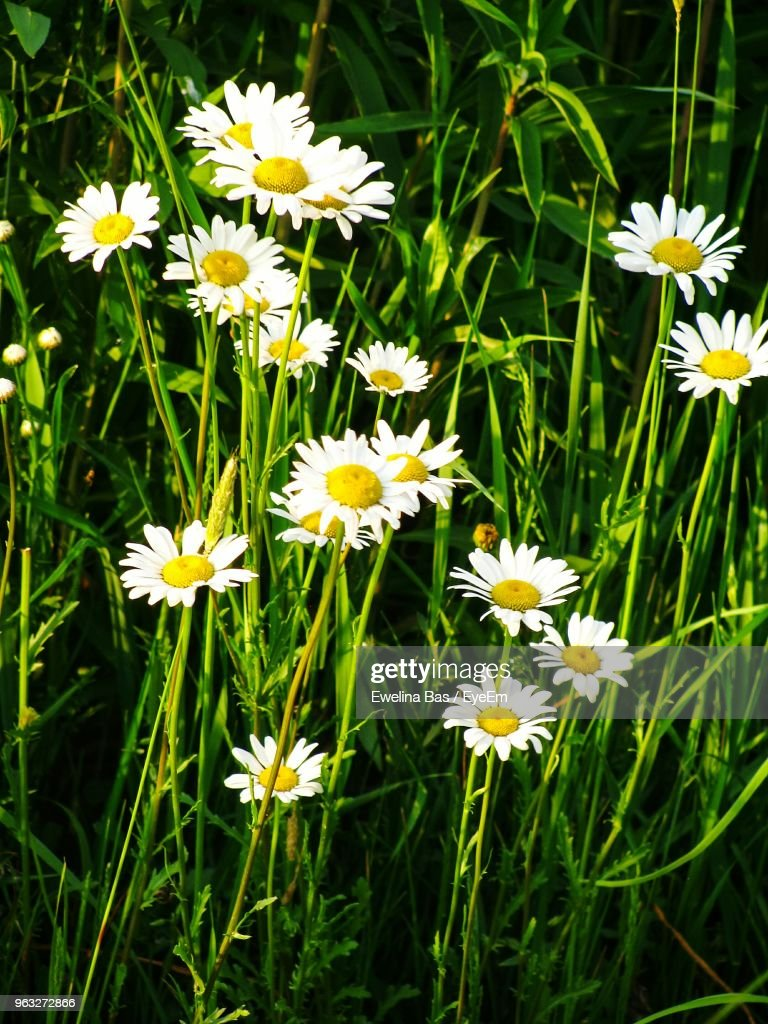 Closeup of white daisy flowers on field stock photo getty images close up of white daisy flowers on field stock photo izmirmasajfo