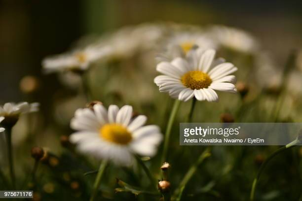 close-up of white daisy flowers on field - aneta eyeem stock pictures, royalty-free photos & images