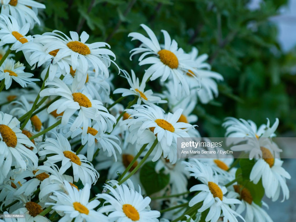 Closeup of white daisy flowers stock photo getty images close up of white daisy flowers stock photo izmirmasajfo