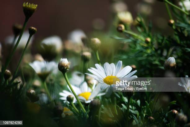 close-up of white daisy flowers - tolga erbay stock photos and pictures