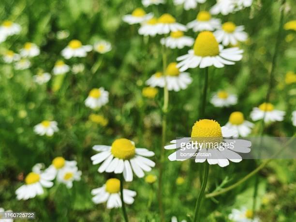 close-up of white daisy flowers - bortes foto e immagini stock