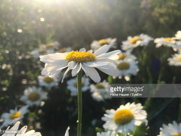 close-up of white daisy flowers - pollen stock pictures, royalty-free photos & images
