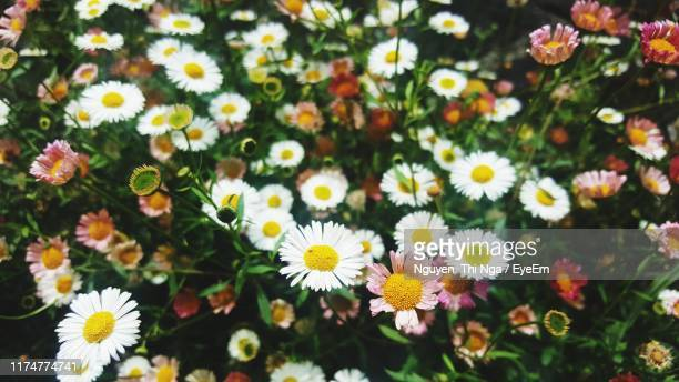 close-up of white daisy flowers - nga nguyen stock pictures, royalty-free photos & images
