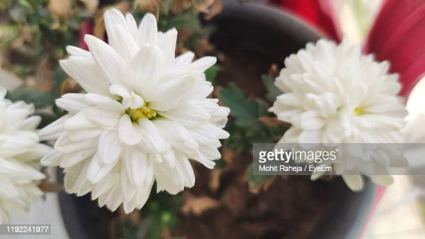 close-up of white daisy flowers - faridabad stock pictures, royalty-free photos & images