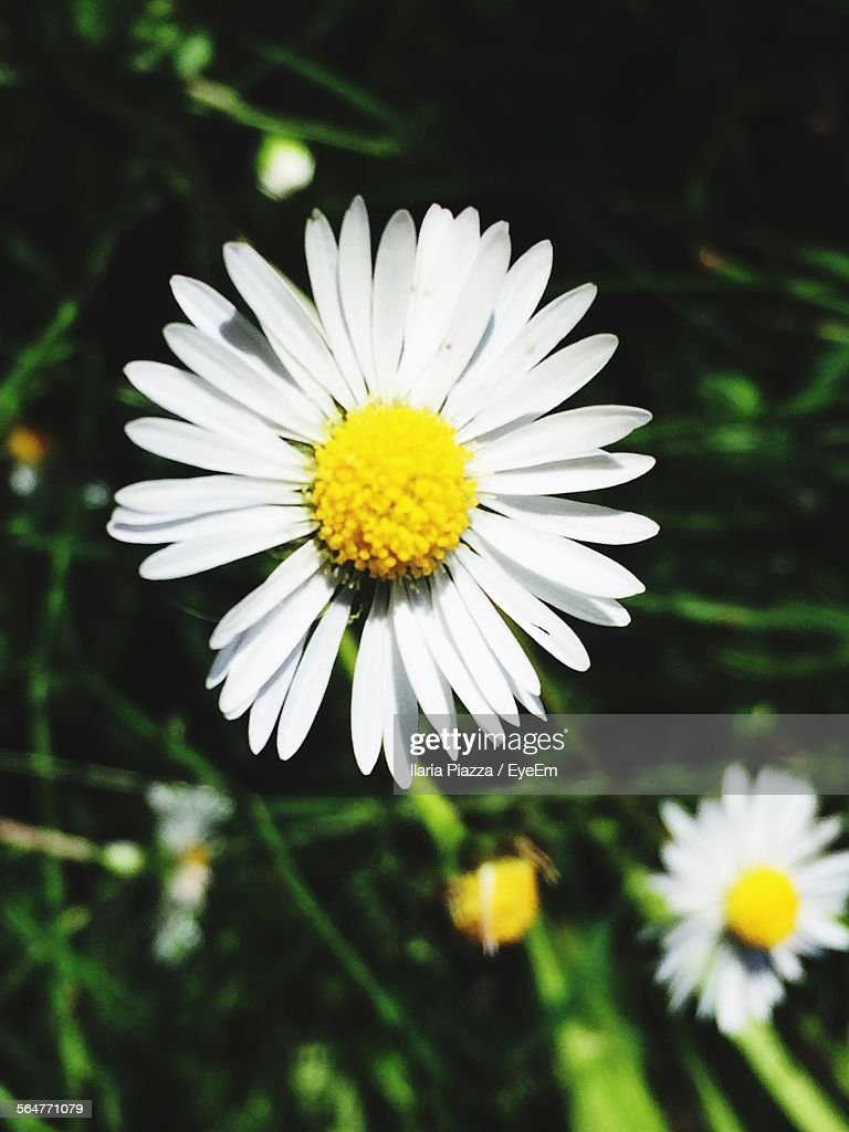 closeup of white daisy flowers ストックフォト getty images