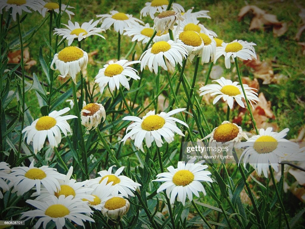 Closeup Of White Daisy Flowers Stock Photo Getty Images